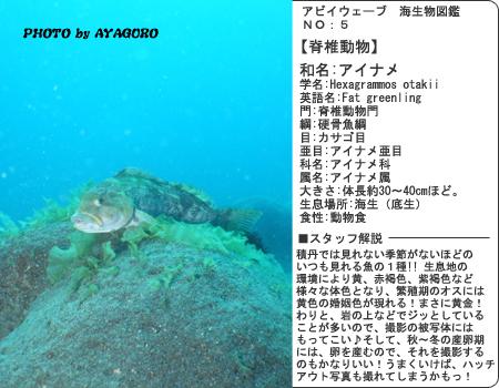 図鑑その5 アイナメ
