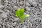 ゴーヤの芽