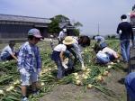 楽しい玉ねぎ収穫