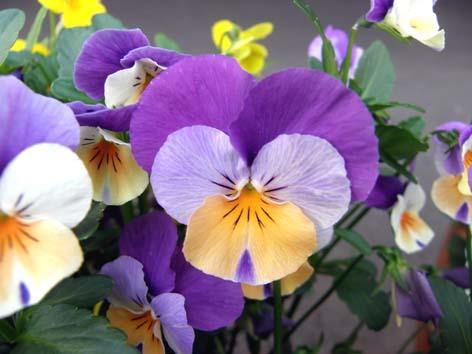 紫四色ビオラ
