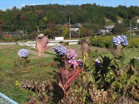 秋のアジサイ