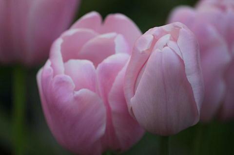 tulipx.jpg