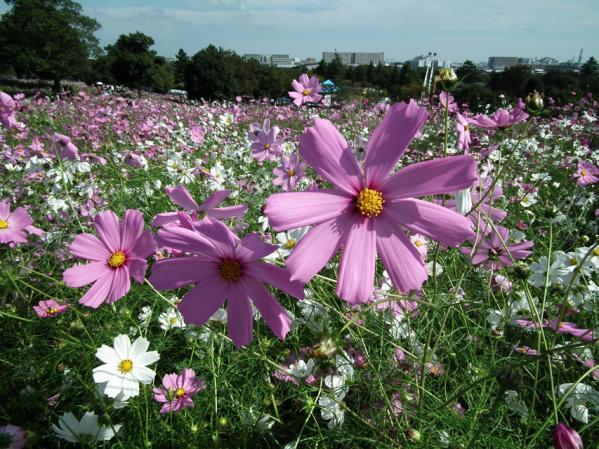 昭和記念公園 花の丘に咲くコスモス(1)