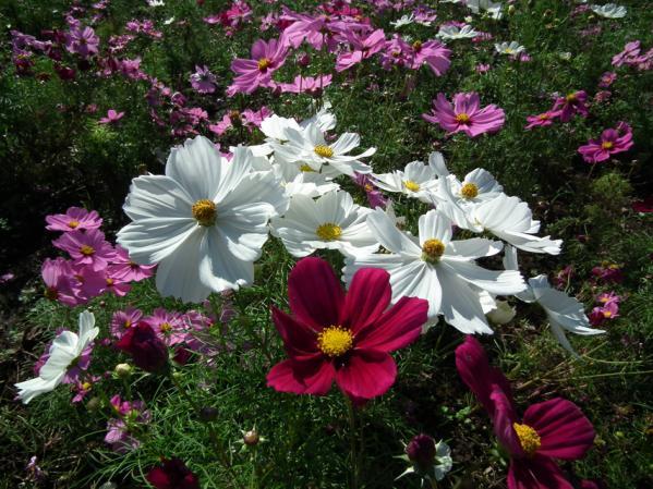 昭和記念公園 花のに咲くコスモス(2)