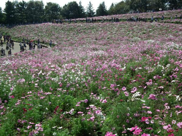 昭和記念公園 花のに咲くコスモス(3)