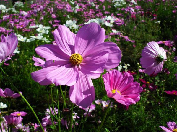 昭和記念公園 花のに咲くコスモス(4)