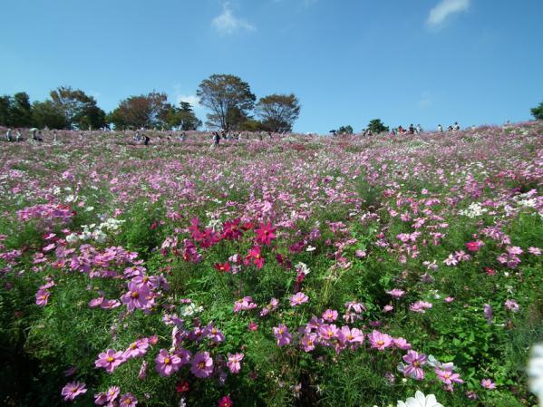 昭和記念公園 花の丘に咲くコスモス(6)