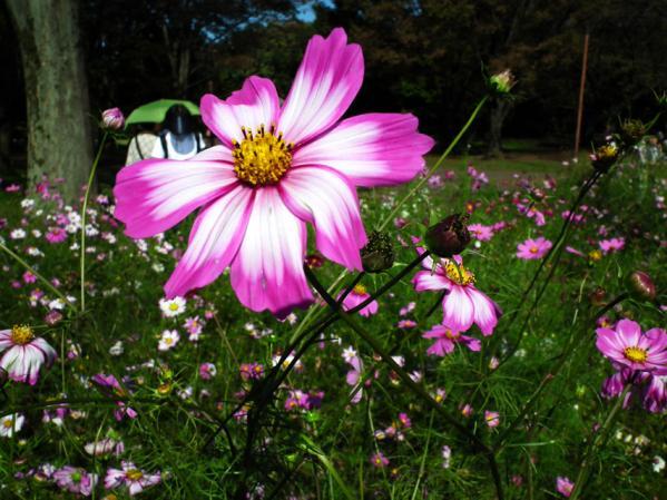 昭和記念公園 みんなの原っぱ東花畑で僅かに咲くコスモス