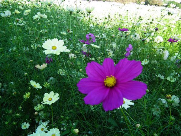 昭和記念公園 みんなの原っぱ西花畑で咲くコスモス(1)