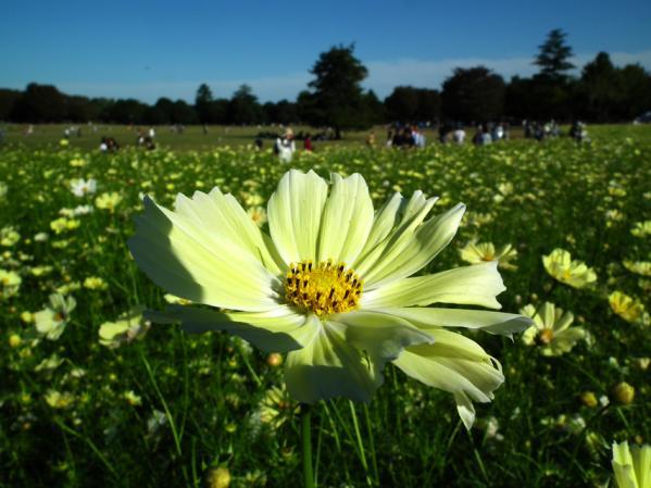 昭和記念公園 みんなの原っぱ西花畑で咲くコスモス(2)