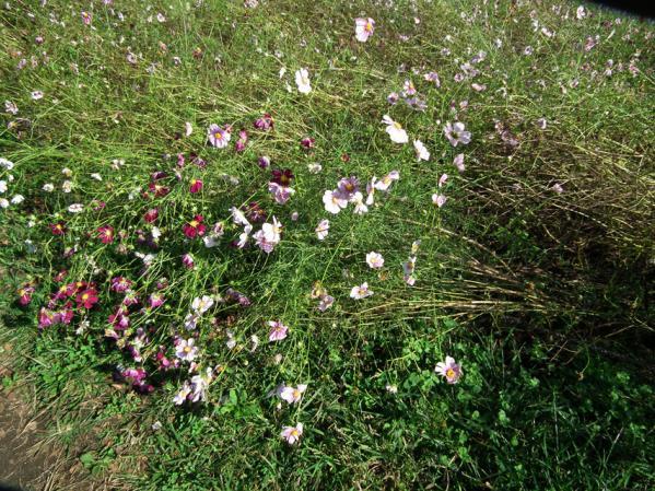 昭和記念公園 みんなの原っぱ東花畑で将棋倒しとなっていたコスモス