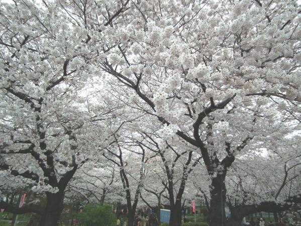 墨田公園の桜並木