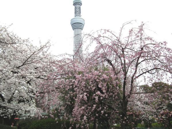 枝垂桜の東京スカイツリー