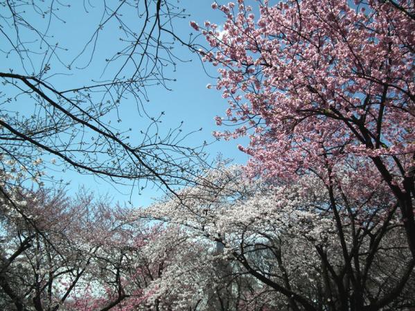 新宿御苑 大木戸門を入って直ぐの桜並木