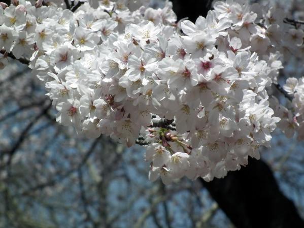 桜のアップ写真(1)