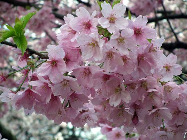 桜のアップ写真(2)