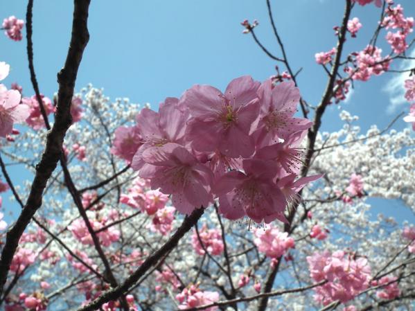桜のアップ写真(3)