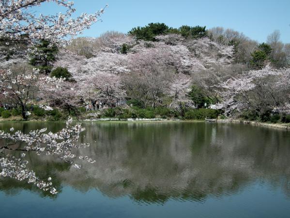 三ッ池公園の池沿いの桜(1)