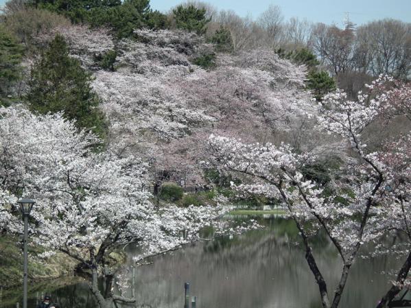 三ッ池公園の池沿いの桜(2)