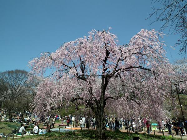 三ッ池公園の枝垂れ桜(1)