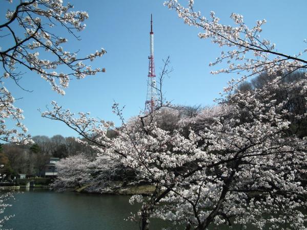 桜とTVK&インターFM横浜中継送信タワー