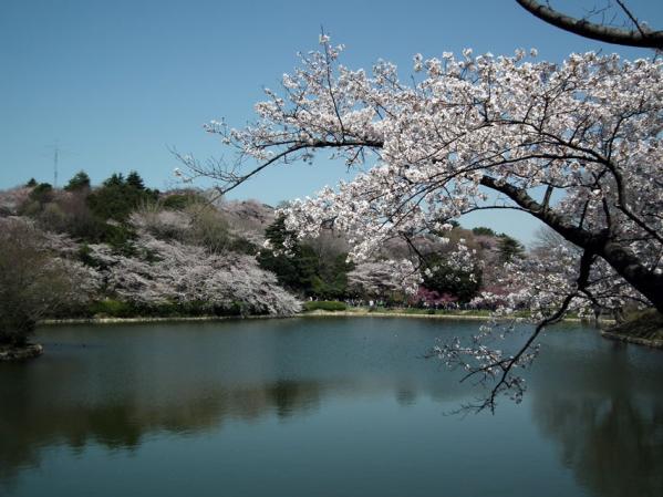 三ッ池公園の池沿いの桜(3)