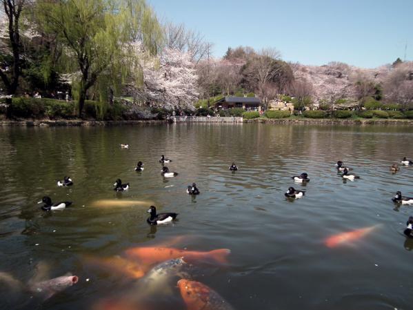 池で泳ぐでかい鯉とキンクロハジロ