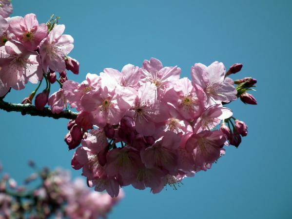 三ッ池公園で撮影した桜のアップ写真(1)
