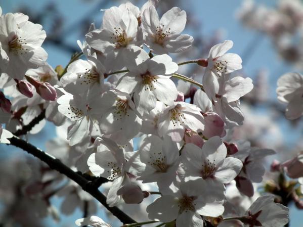 三ッ池公園で撮影した桜のアップ写真(2)