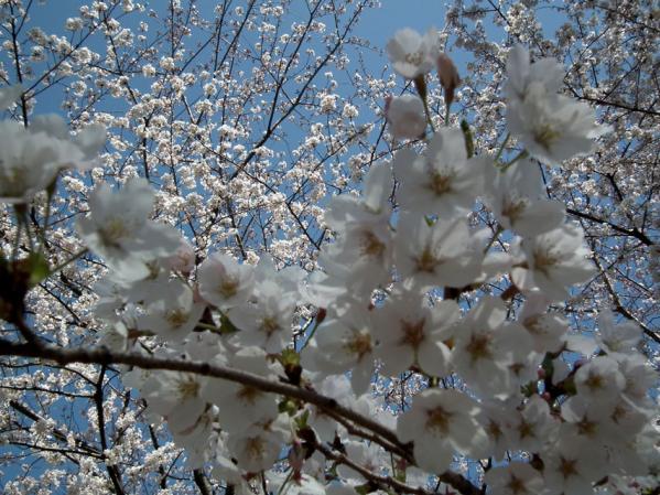 千鳥ヶ淵 桜のアップ写真(2)