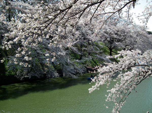 千鳥ヶ淵の桜(1)