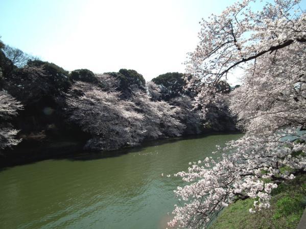 千鳥ヶ淵の桜(2)