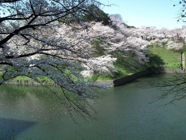 千鳥ヶ淵の桜(3)