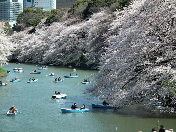 千鳥ヶ淵のボート乗場で撮影した桜(2)