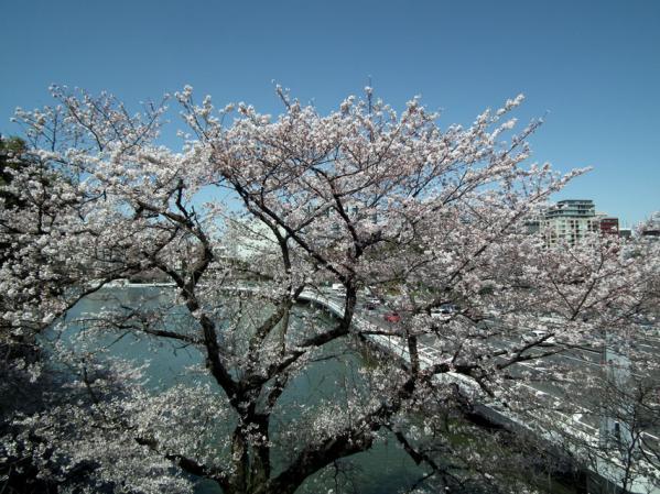 桜の後ろにはお堀と首都高速と・・・