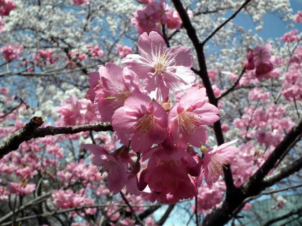 千鳥ヶ淵 桜のアップ写真(1)
