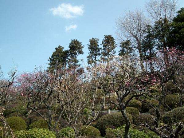 池上梅園の梅(その1)