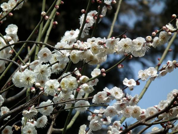 池上梅園の梅(その3)