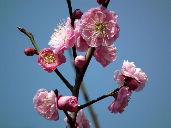 池上梅園の梅(その2)