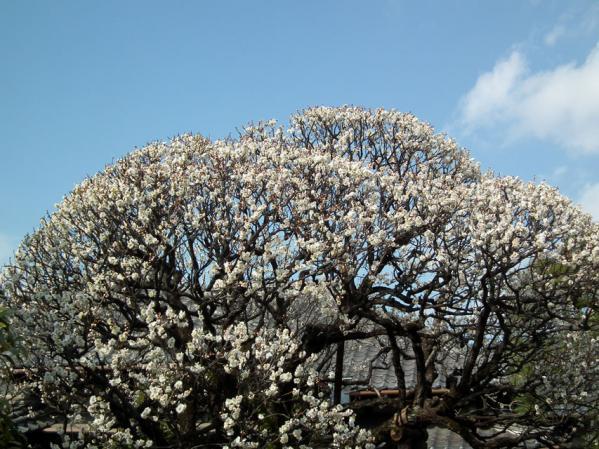 池上の中道院に咲いていた梅(その1)