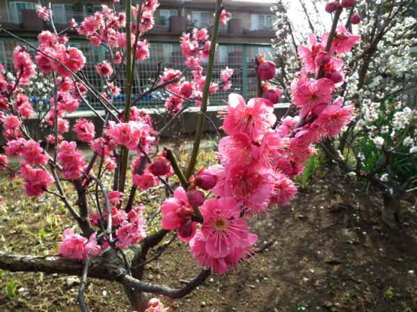 池上の中道院に咲いていた梅(その2)