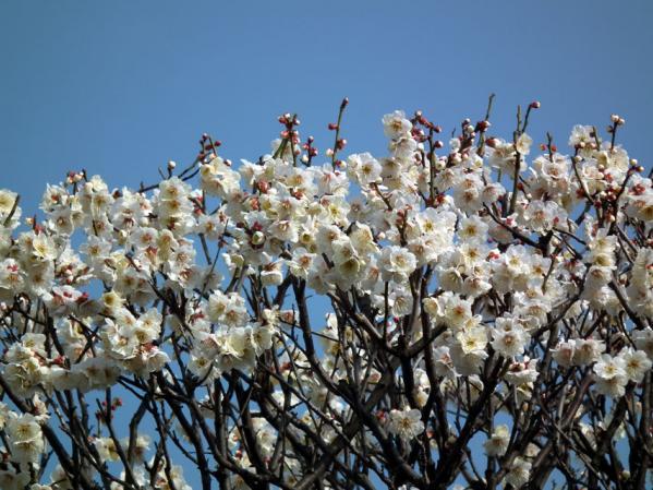 池上の中道院に咲いていた梅(その3)