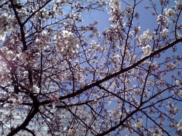 勤務先敷地の広場で咲いていた桜
