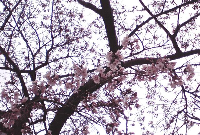 駒込駅前で咲いていた桜