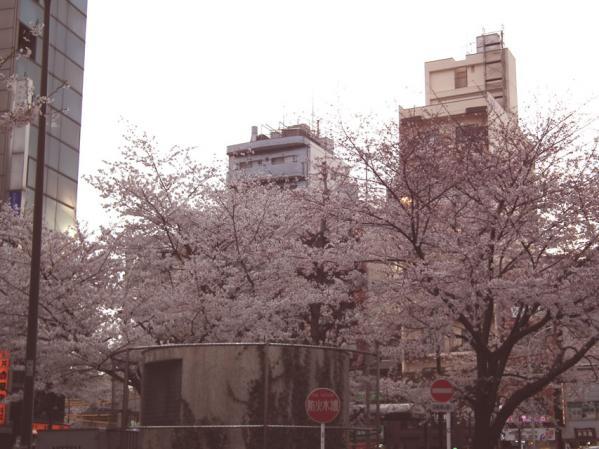 駒込駅前の桜