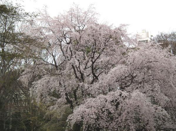 六義園の枝垂れ桜(2)