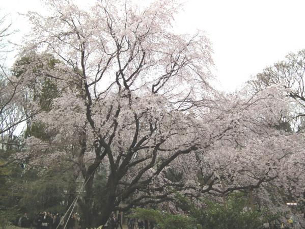 六義園の枝垂れ桜(3)