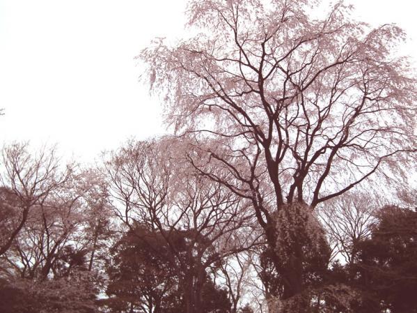 六義園の枝垂れ桜(4)