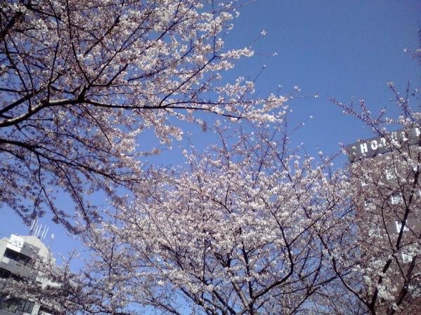 駒込駅前ロータリーに咲く桜