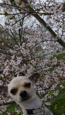桜にピンと